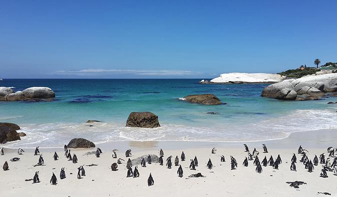 pingouins à Boulders Beach, juste à l'extérieur du Cap