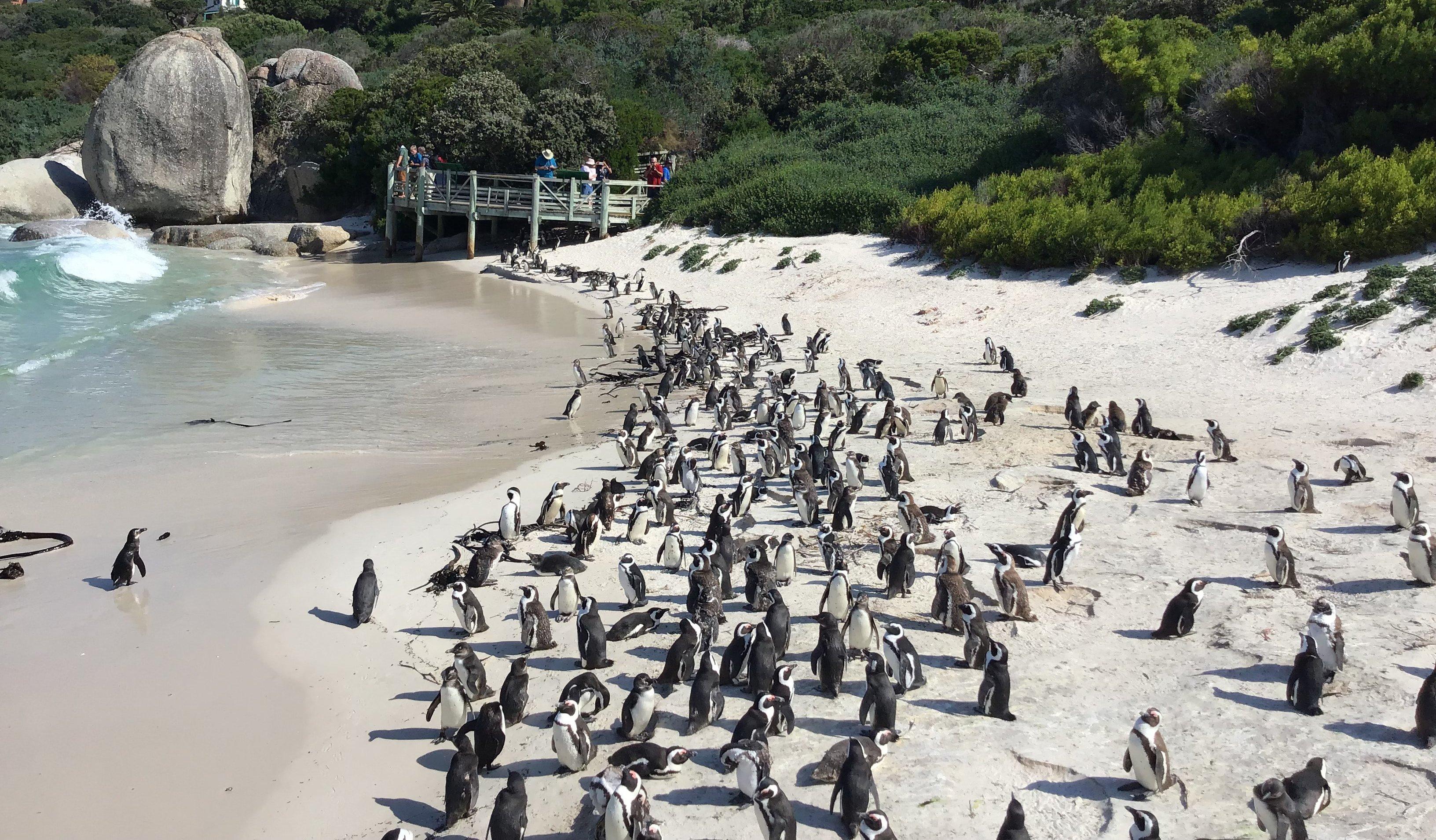 pingouins en Afrique du Sud