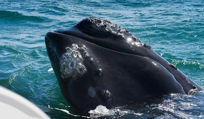 observation des baleines en Afrique du Sud