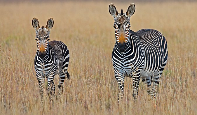un zèbre en safari en Afrique du Sud